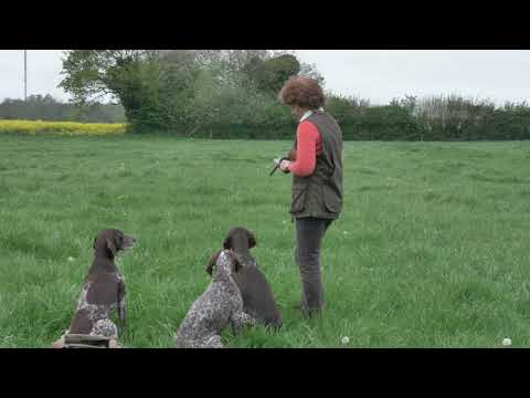 German Shorthaired Pointer Retrieving  improving focus on dummies