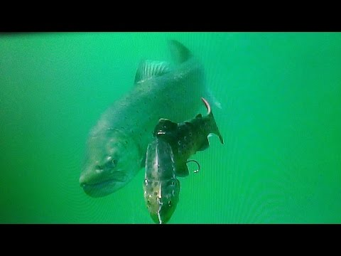 Giant lake trout following 30 LT trout - Lokvarsko lake Croatia