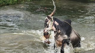 Furious Hallikar bull Jumping and swimming