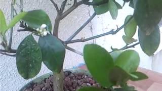 видео комнатный лимон уход