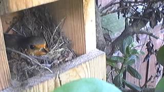 Robin Nest With Eggs In Nest Box... Birds Songs And Sounds Uk