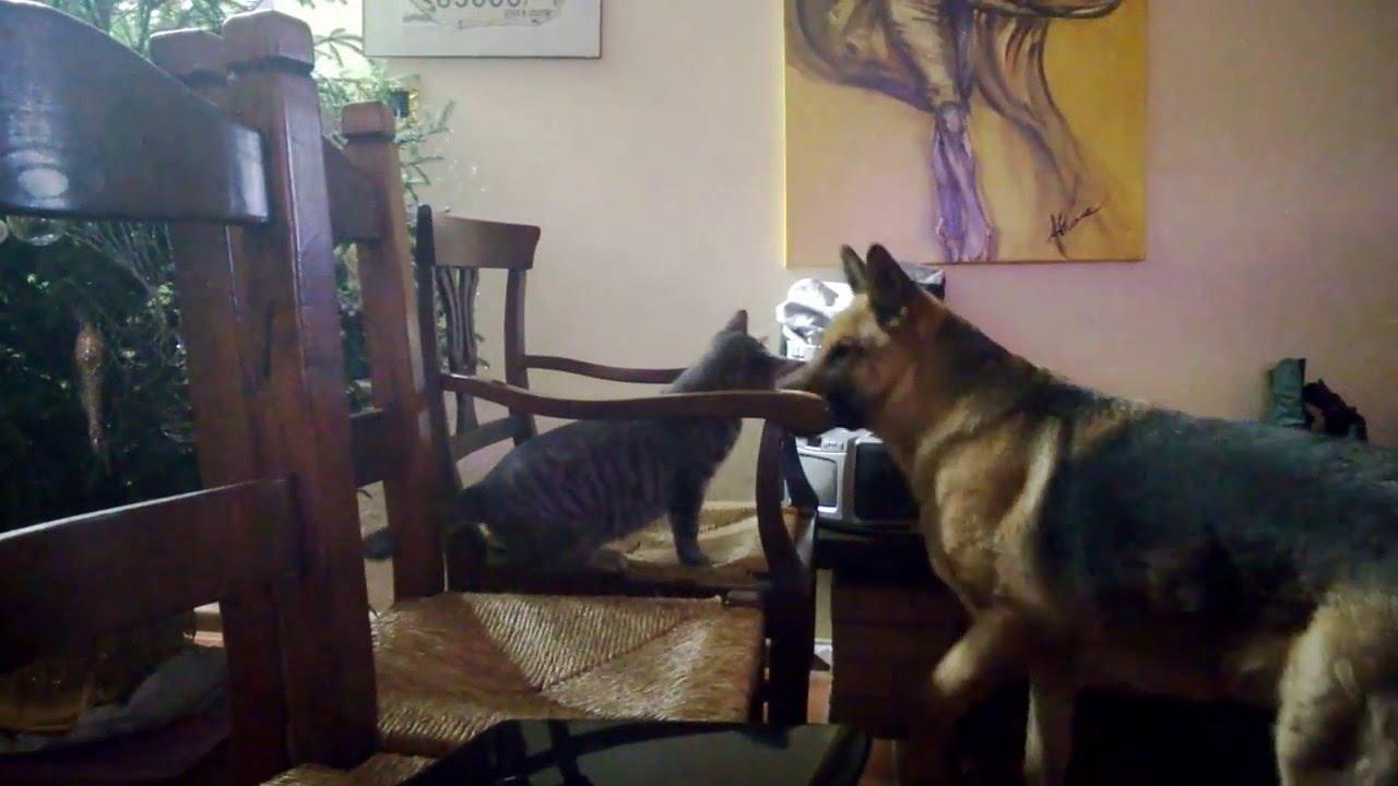 Pastore Tedesco Che Gioca Con Il Gatto German Shepherd Playing