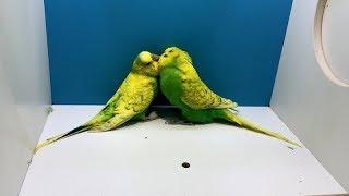 Muhabbet Kuşunuz Çıldıracak Çiftleşme Ve Kızıştırma Sesi 1 Saat