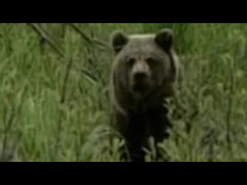 Смотреть случка медведей видео