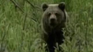 Медведи держат в страхе жителей Сибири и Дальнего Востока