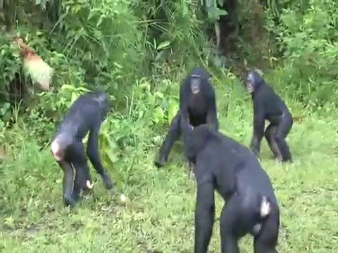 Monkey like masturbation, like play with his penis very much from YouTube · Duration:  46 seconds