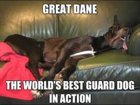 The Great Dane dog breed is your perfect choice.