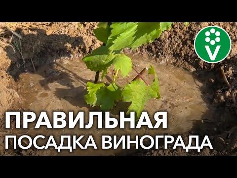 Как посадить виноград: пошаговая инструкция | правильно | винограда | саженцев | посадить | виноград | посадка | весной | как | ка