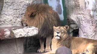 円山動物園のライオン、リッキー(オス/10歳)とティモン(メス/16歳)。 テ...