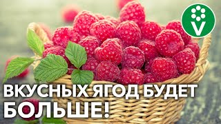 5 СЕКРЕТОВ СУПЕРУРОЖАЯ МАЛИНЫ Как ухаживать за малиной в период созревания ягод