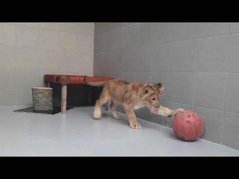 فيديو: مواطن هولندي يعثر على أسد أثناء ممارسته الرياضة  - 21:54-2018 / 10 / 9