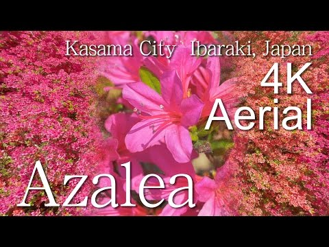 Azalea[4K]Kasama Azalea Park, Kasama City|VISIT IBARAKI, JAPAN -OTHER SIGHTS-