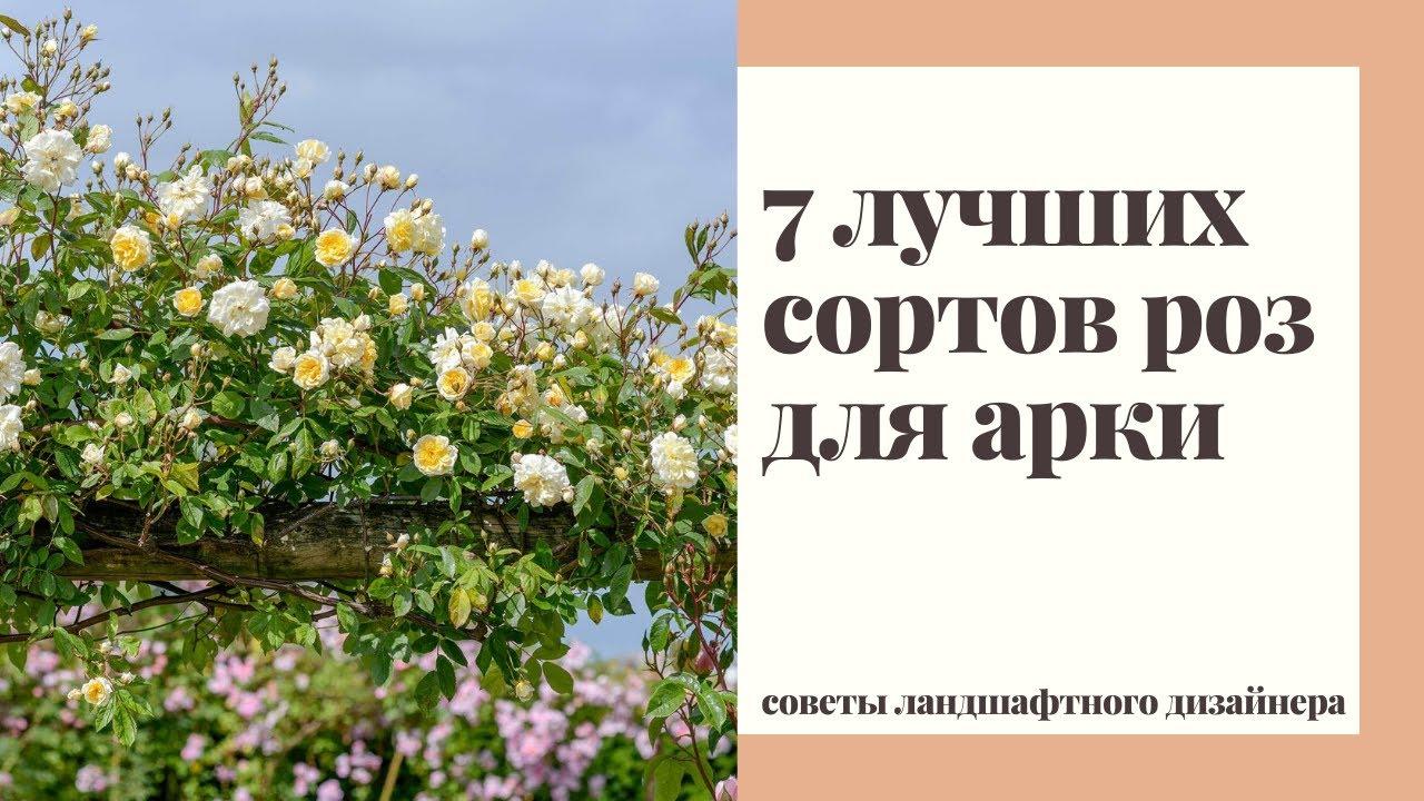 Плетистые розы РАМБЛЕРЫ. Особенности выращивания и лучшие сорта для арки и высоких заборов.
