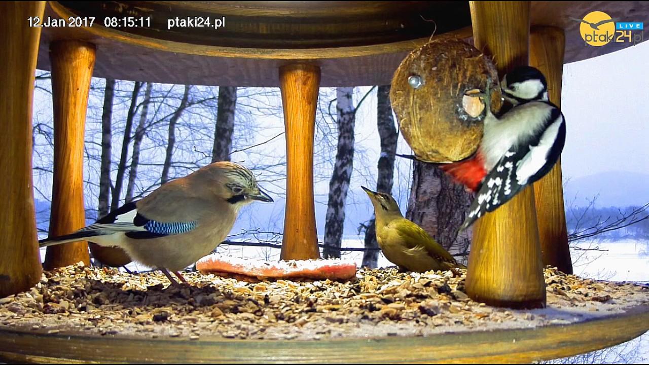 Dzięcioły, Sójki i Sikory w karmniku dla ptaków nad Soliną