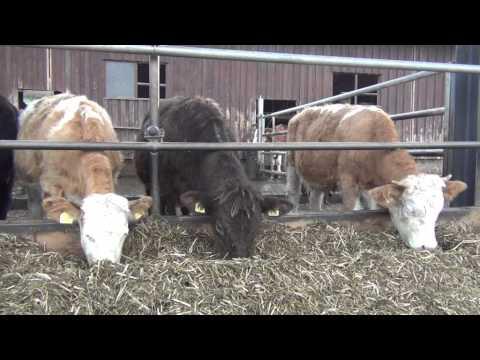 Die Rinder-Ranch im Kanton Aargau