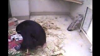 Chimp Eden Nina's Baby's Birth Seen 1-23-13  7:28am SAST