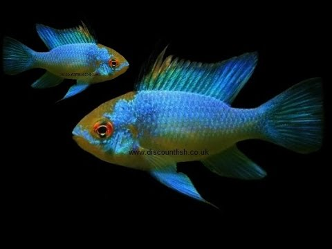 Electric Blue Ram Cichlids - Tropical Freshwater Fish For Sale