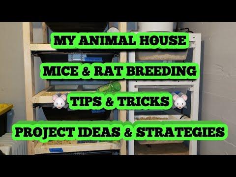 MICE & RAT BREEDING... TIPS & TRICKS... PROJECT IDEAS & STRATEGIES
