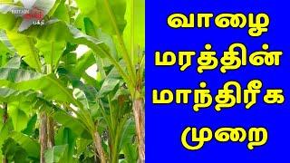 பிள்ளைவரம் பெற – வாழை மரத்தின் மாந்திரீக பூஜை | Banana Tree Poojai | Britain Tamil Bhakthi