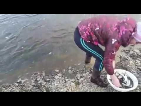 Камчатская рыбалка: корюшку в реке можно ловить руками