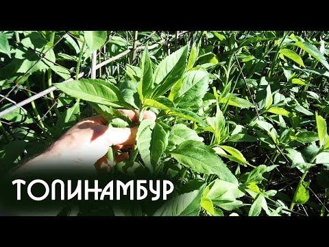 Топинамбур польза и вред | Посадка и полезные свойства Топинамбура