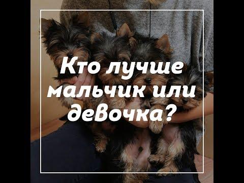 Отличие щенка йорка мальчика от девочки / кого выбрать мальчика или девочку