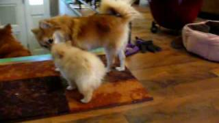 Sophie Teaching Pomeranian Puppies She Wont Feed Them Forever