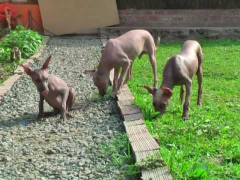Peruvian Hairless Puppies Breeder Place Nacion Viringo