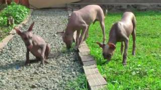 Peruvian Hairless Puppies Breeder Place Nacion Viringo
