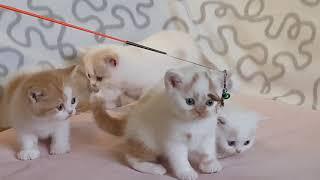 Британские котята. Возраст 1 месяц
