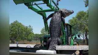 Texas teenager bags 800-pound alligator