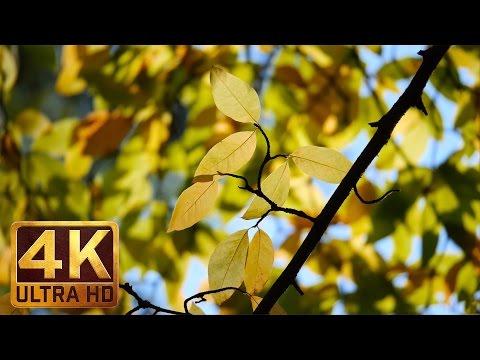 4K Nature Video & Relaxing Music for Stress relief - Autumn - Washington Park Arboretum - Part-1