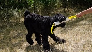 Black Russian Terrier And Other Dogs Train And Play With Fire Hose Bite Tug