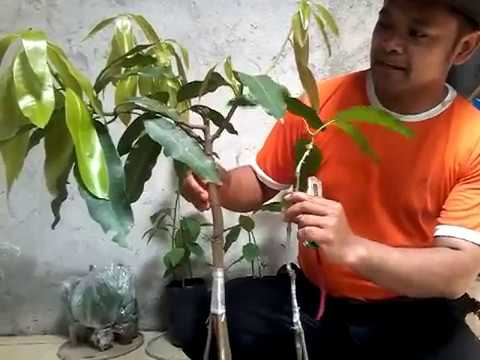 woow ini dia rahasia nya pohon apel di bonsai