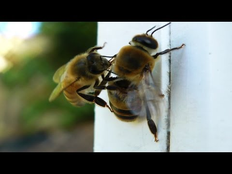 DRONE eviction - Bee chewing drone wings OFF!