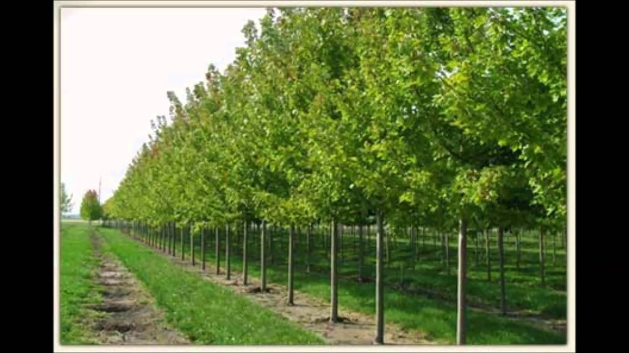 Large Trees For 18 99 And Up At Tn Online Tree Nursery