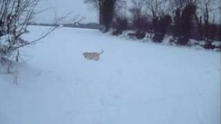 Labrador Retriever Puppy In Snow