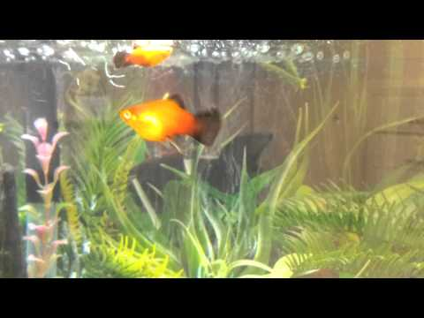 Suspicious Sunburst Wag Platy Activity