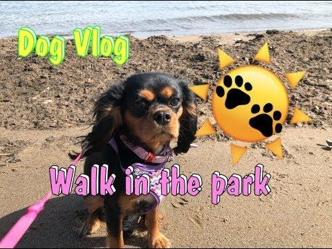 Walking puppies in the park | Cavalier King Charles Spaniel and Boston Terrier