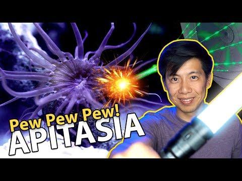 Pew-Pew-Pew-ing Aiptasia!! {LASER TIME}