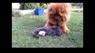 Воспитание щенка чау-чау