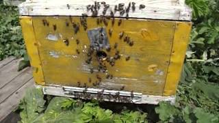 пчелы лапками чешут переднюю стенку улья и прилетную доску(вопросы по видео можно задать пройдя по ссылке: http://garik1960.flybb.ru/topic2670.html., 2016-02-20T11:48:09.000Z)
