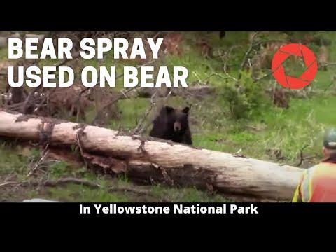 Park Ranger Uses Bear Spray On Bear in Yellowstone