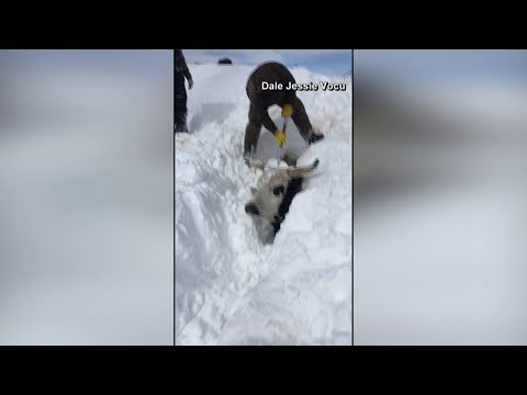 Blizzard forces South Dakota rancher to dig cattle out of snow