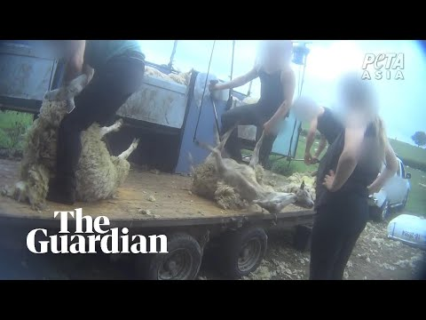Secret videos reveal workers beating sheep on English and Scottish farms