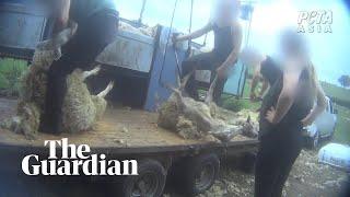 Secret footage reveals animal abuse on English and Scottish sheep farms