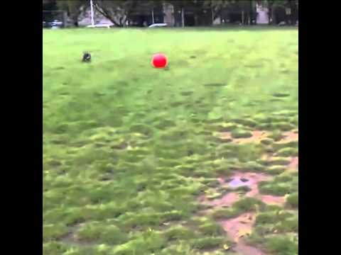 Dog does a Frontflip over a Ball!