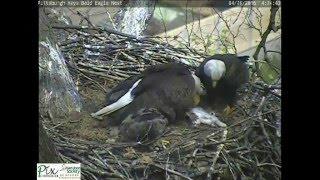 Hays bald eagles bring cat to nest for eaglets
