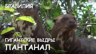 Мир Приключений - Дружная семья Гигантских выдр. Пантанал. Бразилия. Giant otters. Pantanal. Brazil.(Весь цикл фильмов: http://mir-prikliuchenii.com/movies В планах: http://mir-prikliuchenii.com/plans Фрагмент из фильма:
