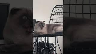 Kedim Şeker'in Komik Halleri | Kuşları Yemek İstiyor ! Esila Biltekin #shorts#kedivideoları